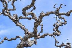 Rami di albero sfrondati contro il cielo blu Immagine Stock Libera da Diritti