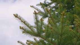 Rami di albero verdi dell'abete con gli aghi, i germogli ed il cielo con spazio vuoto per testo archivi video