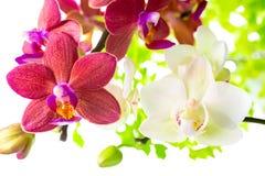 Phalaenopsis bianco e rosso fotografia stock immagine di for Orchidea fioritura