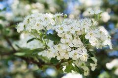 Rami di fioritura di cratego I primi verdi della molla, bokeh, giorno soleggiato della molla immagine stock libera da diritti