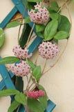Rami di fioritura di Hoya Carnosa Fotografia Stock