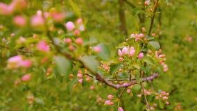 Rami di fioritura di di melo il giorno di molla nella fine del giardino della frutta su archivi video
