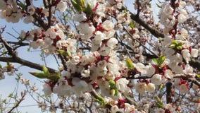 Rami di fioritura di un albero che ondeggia nel vento stock footage