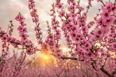 Rami di fioritura di un pesco con i fiori rosa Immagine Stock Libera da Diritti