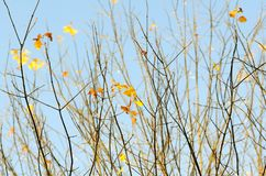 Rami di invecchiamento di un albero e foglie di autunno meditative in oro e nel rosso Immagini Stock