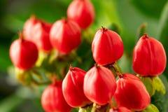 Rami di iperico con le bacche rosse per le disposizioni floreali Iperico del primo piano immagine stock libera da diritti