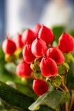 Rami di iperico con le bacche rosse per le disposizioni floreali Iperico del primo piano fotografia stock