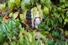 Rami di legno con le foglie multicolori e le bacche rosse immagini stock libere da diritti
