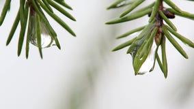 Rami di macro due di un pino con le gocce di acqua stock footage