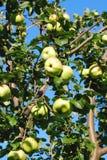 Rami di melo con i frutti Fotografia Stock