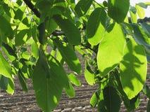 Rami di noce con le foglie verdi sul fondo arato del campo Fotografia Stock Libera da Diritti