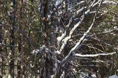Rami di Snowy Fotografia Stock Libera da Diritti