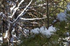 Rami di Snowy Fotografia Stock