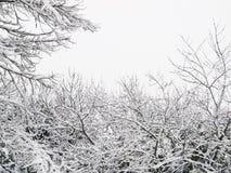 Rami di Snowy fotografie stock libere da diritti