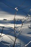 Rami di Snowy Immagini Stock