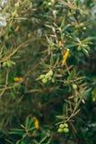 Rami di ulivo con la frutta Oliveti e giardini nel Montenegro Immagini Stock Libere da Diritti