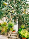Rami di ulivo con la frutta Oliveti e giardini nel Montenegro Fotografie Stock Libere da Diritti