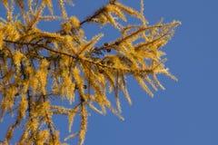 Rami di un albero di larice nei colori autunnali Immagini Stock