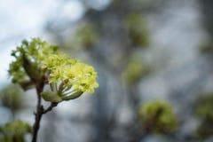 Rami di un albero di fioritura fiori piccoli di fioritura dell'albero in un ambiente urbano molla romantica in città colori verde immagini stock libere da diritti