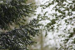 Rami di un albero in neve La neve è nel mezzo Fotografie Stock