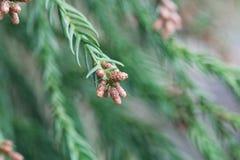 Rami di un cryptomeria japonica del cedro rosso del giapponese immagini stock libere da diritti