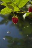 Rami di un lampone del giardino Fotografie Stock Libere da Diritti