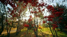 Rami di una cenere di montagna con le bacche rosse Bacca della cenere Cespuglio della sorba video d archivio