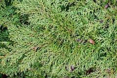 Rami di verde del ginepro fotografie stock libere da diritti