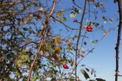 rami e bacche di alberi su loro all'autunno novembre Fotografie Stock Libere da Diritti