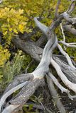 Rami e cespugli di quercia morti con le foglie della quercia gialla di Autumn Fall Colorado America Fotografie Stock Libere da Diritti