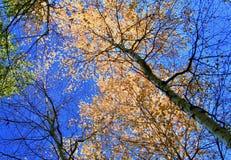 Rami e cielo blu dorati della betulla immagini stock
