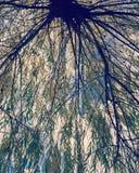 Rami e cielo di albero del salice Fotografia Stock