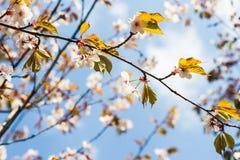 Rami e fiori di Sakura Fotografie Stock Libere da Diritti