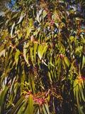 Rami e foglia dell'eucalyptus fotografia stock libera da diritti
