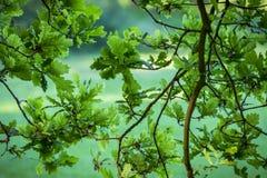 Rami e foglie di quercia Fotografia Stock