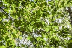 Rami e foglie verdi contro un cielo soleggiato - autunno in Inghilterra immagine stock