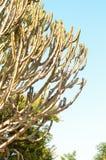 Rami enormi del cactus Fotografia Stock Libera da Diritti