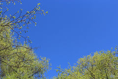 Rami freschi della molla degli alberi Fotografia Stock