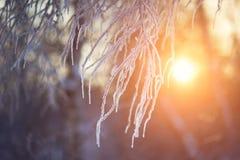 Rami ghiacciati al tramonto Immagine Stock