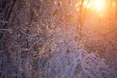 Rami ghiacciati al tramonto Immagini Stock