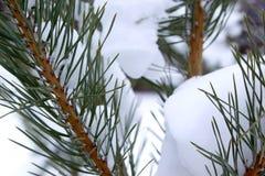 Rami innevati del pino nella foresta di inverno fotografia stock libera da diritti