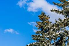 Rami innevati di un albero attillato nell'inverno Immagini Stock