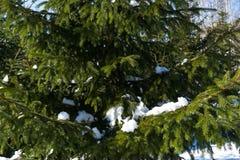 Rami innevati di un albero attillato nell'inverno Fotografia Stock