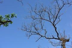 Rami morti e ramo verde Fotografia Stock