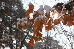 Rami nella neve Immagine Stock Libera da Diritti