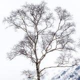 Rami nudi dell'albero di betulla nell'inverno freddo fotografia stock libera da diritti
