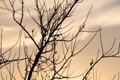 Rami nudi di un albero al sole di alba Immagini Stock