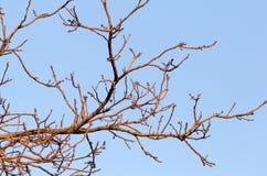 Rami nudi di un albero al sole di alba Immagini Stock Libere da Diritti