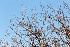 Rami nudi di un albero al sole di alba Fotografie Stock