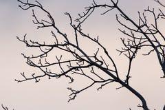 Rami nudi di un albero al sole di alba Fotografia Stock Libera da Diritti